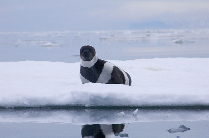rare-four-stripes-ribbon-seal-spotted-9