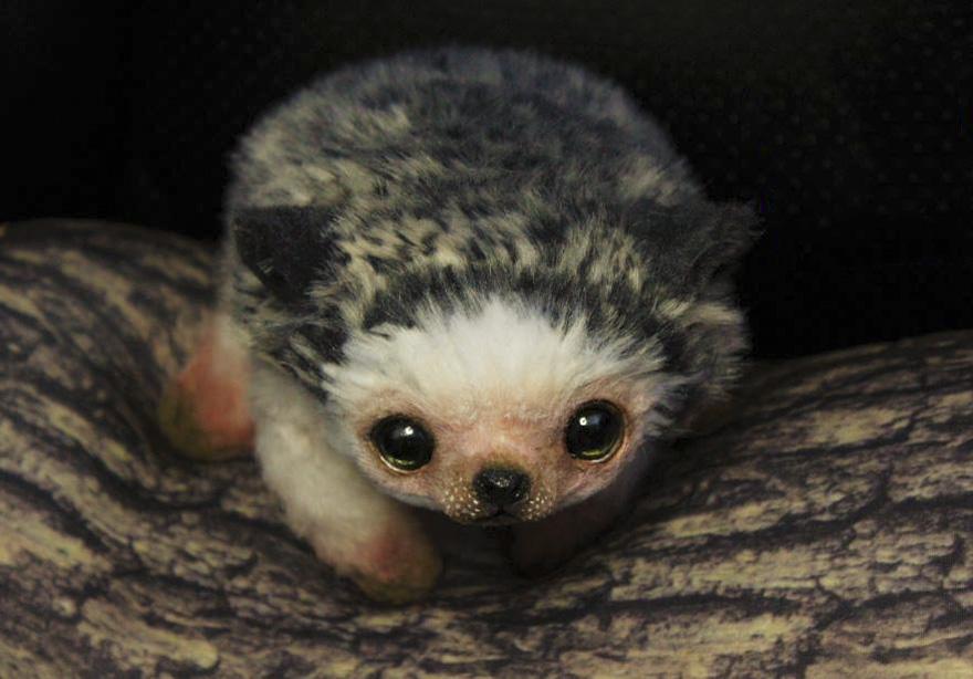 """""""Pheona,"""" The Baby Hedgehog"""
