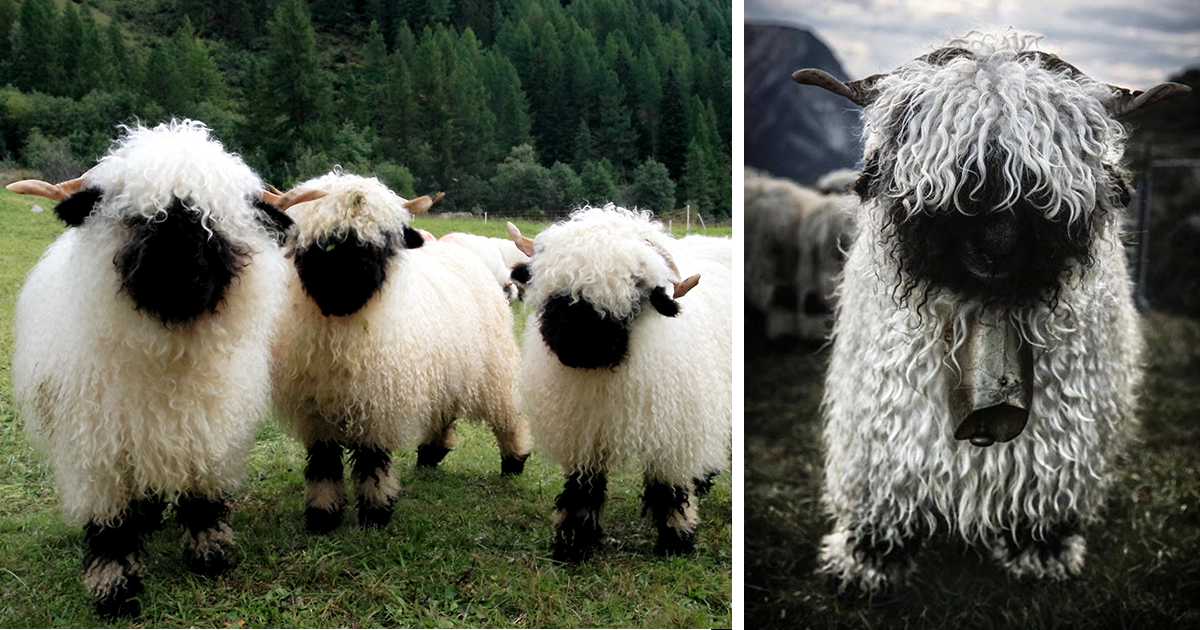 people can t agree whether these sheep are cute or terrifying