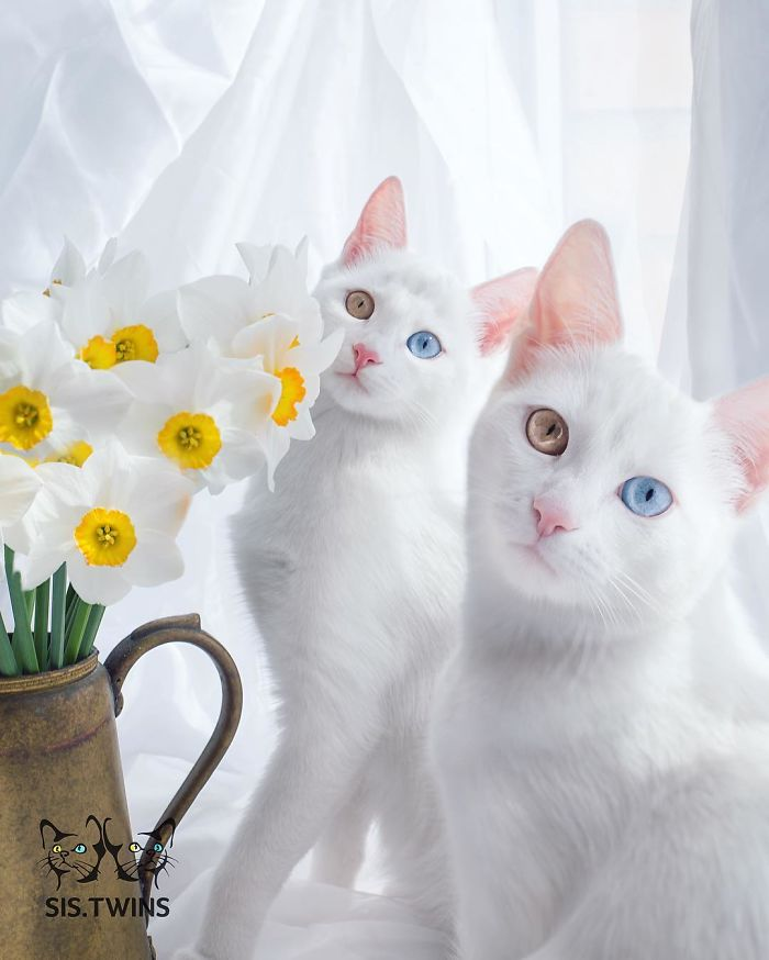 Iriss And Abyss – The Most Beautiful Twin Cats In The World