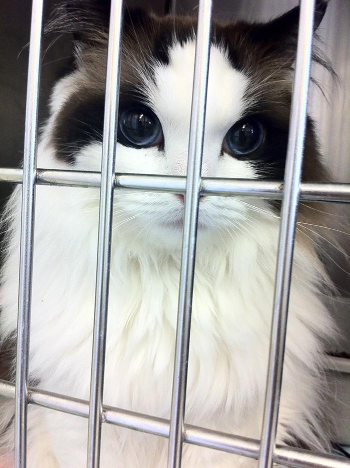 Impressionante Ragdoll Cat Mimi