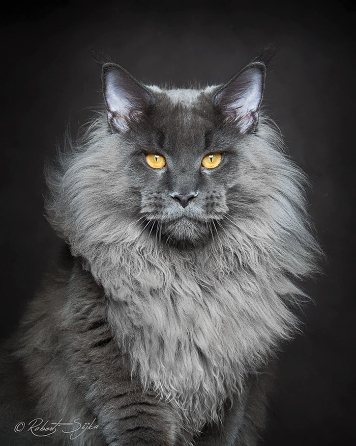 Majestic Beauty Of This Maine Coon