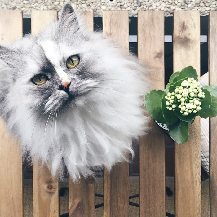 Meet Alice, The 6-year-old Persian Mix With Marble Fur