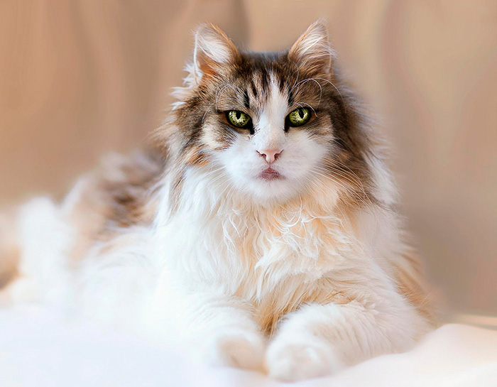 Maine Coon With Mesmerizing Eyes