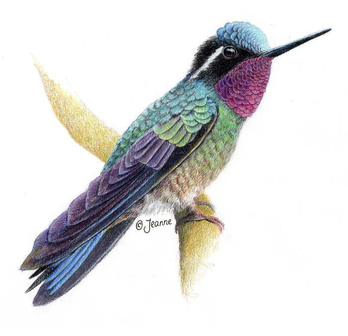 300 Hummingbirds And So Many Different Ways To Illustrate Them