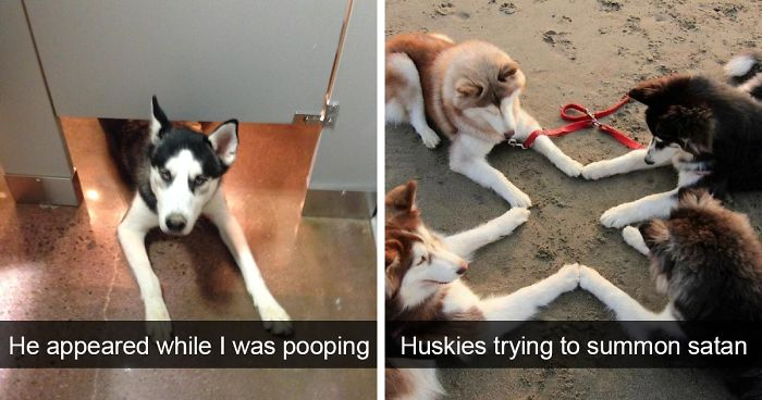 Meme Funny Husky Dogs : 10 of the most hilarious posts about huskies ever bored panda