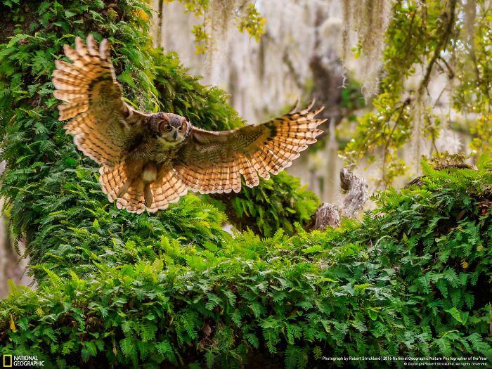 Great Horned Owl Returning