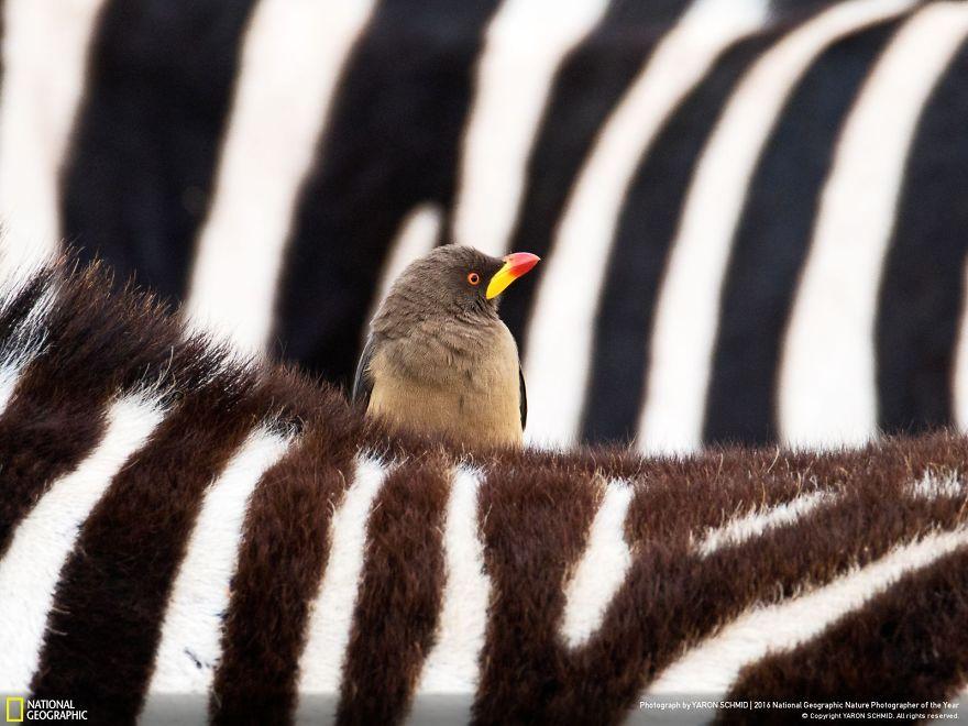 The Zebra And The Oxpecker