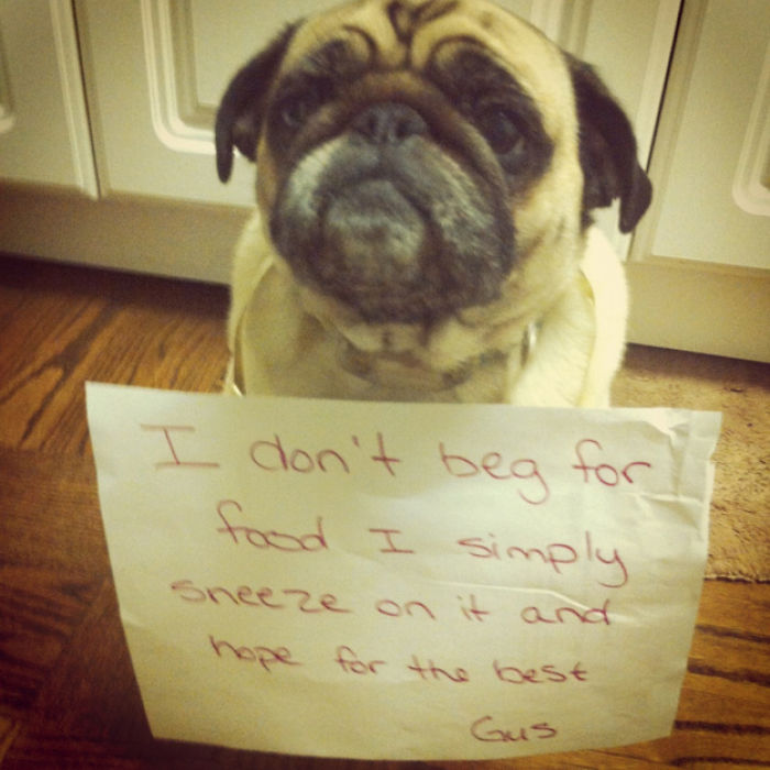 10 Reasons Why Pugs Rule Dogshaming