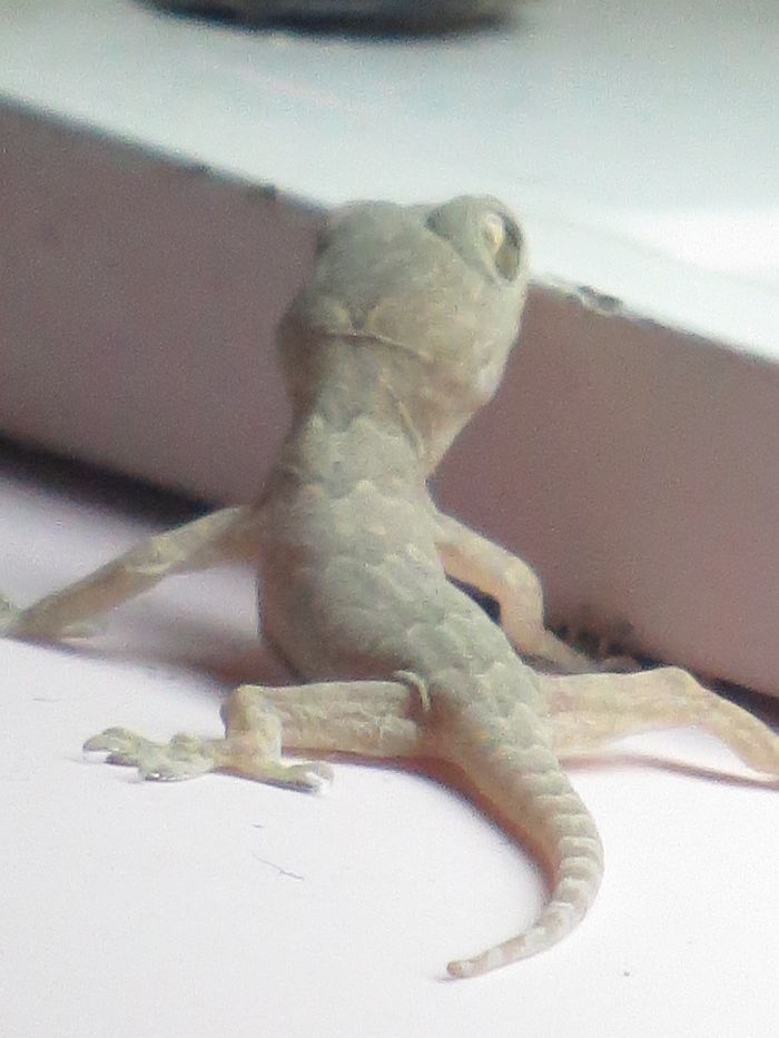 My Pet Lizard, Sam
