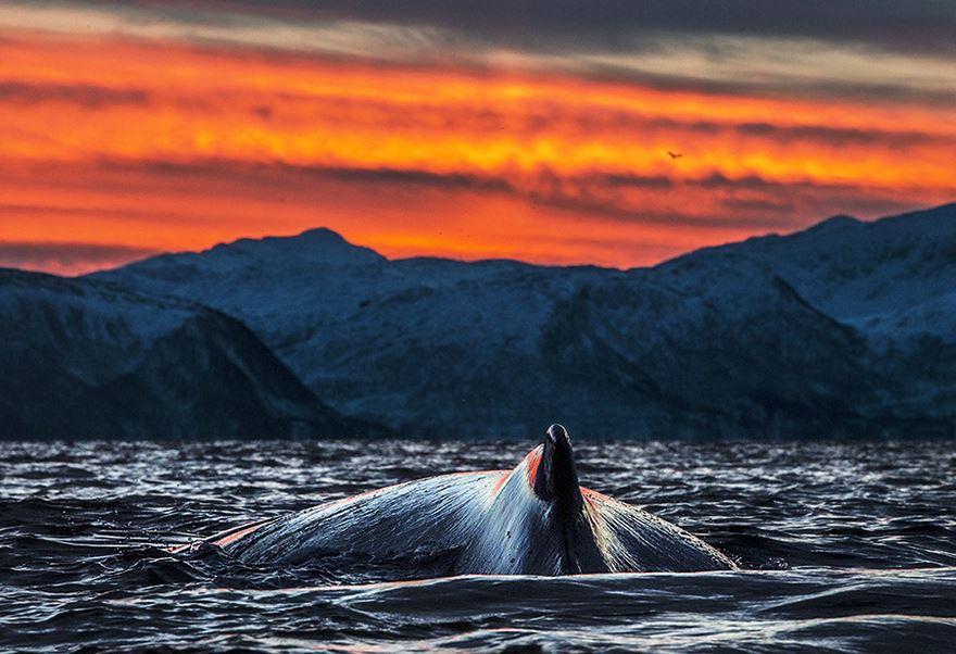 Arctic Whales