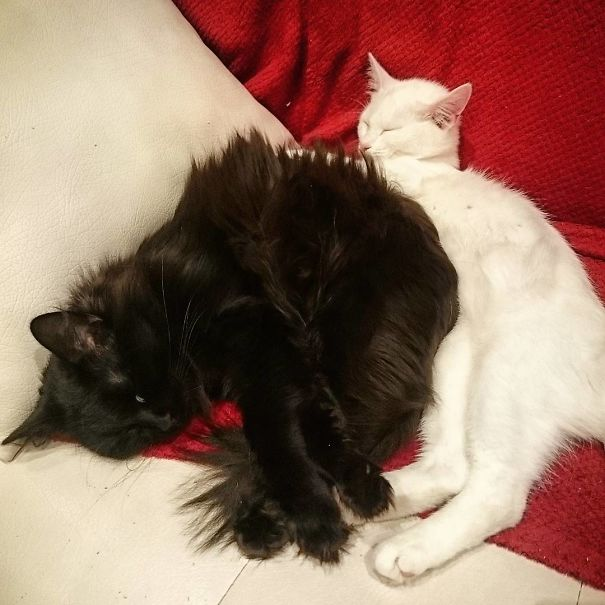 Fluffy Black And White Cats