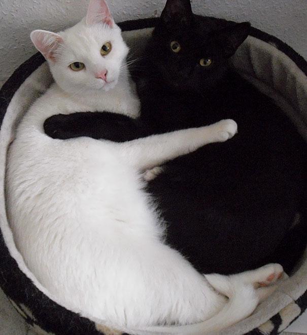 Yin And Yang Cats