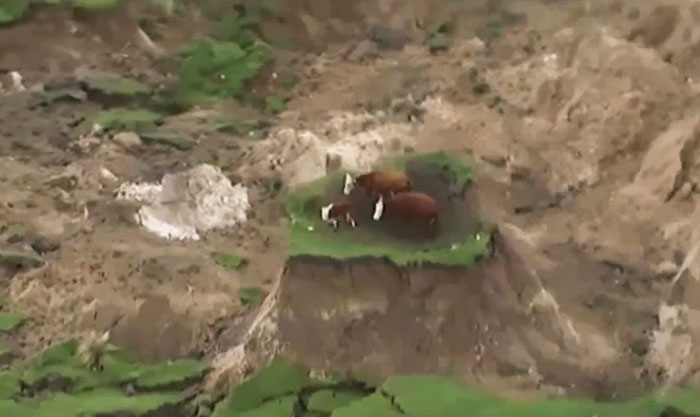 cows-trapped-earthquake-new-zealand-4