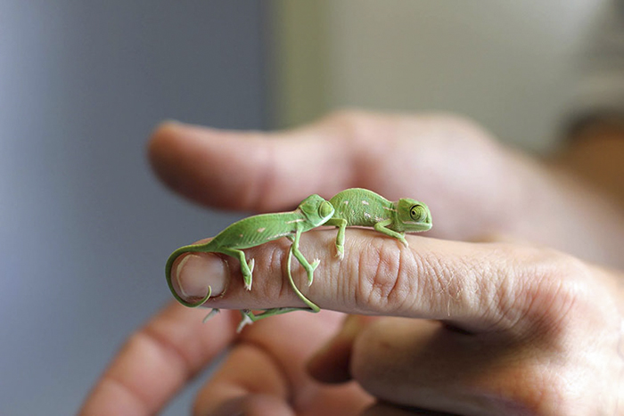 Newly Hatched Baby Chameleons