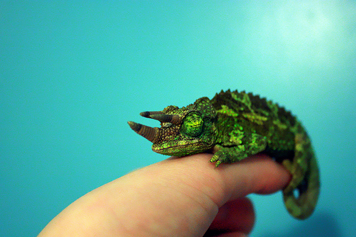 I Could Either Buy A Macro Lens Or A Chameleon - And He Was Soooo Cute I Couldn't Resist. So This Is Cecil