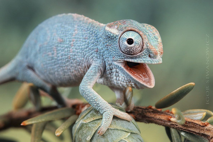 Overly Excited Baby Chameleon