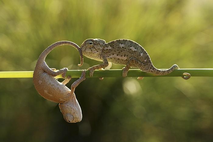Cute Baby Chameleons
