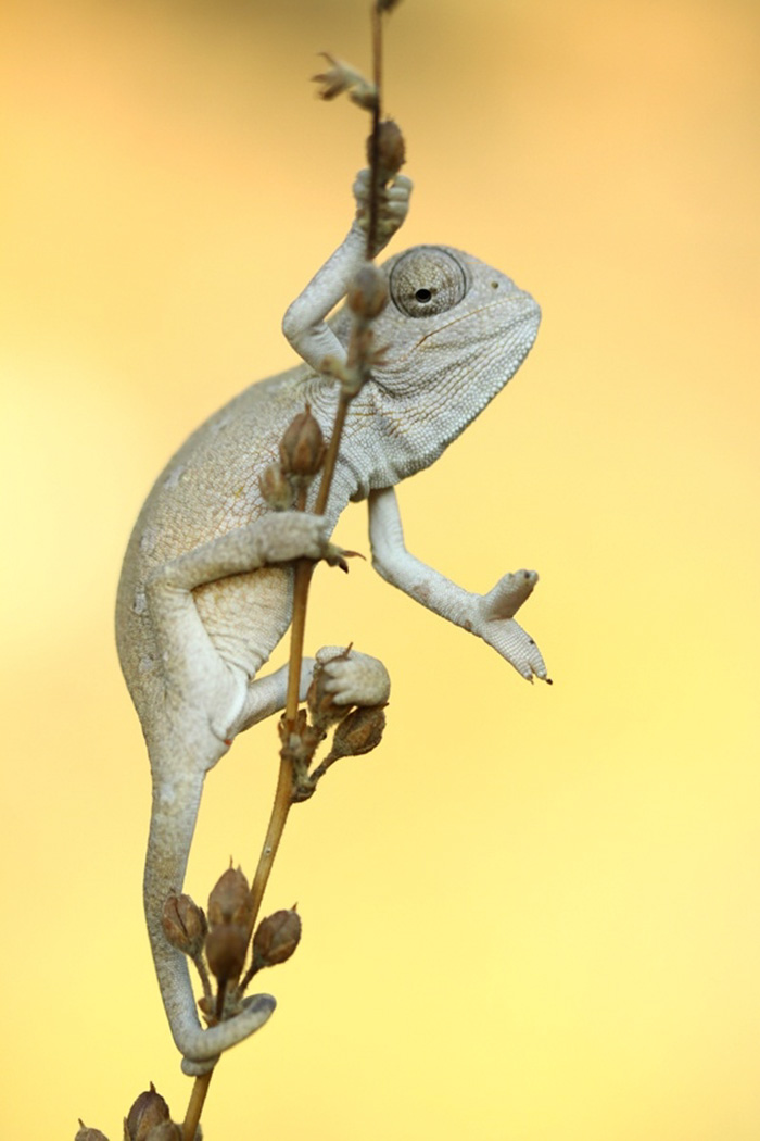 Baby Chameleon Posing For The Picture