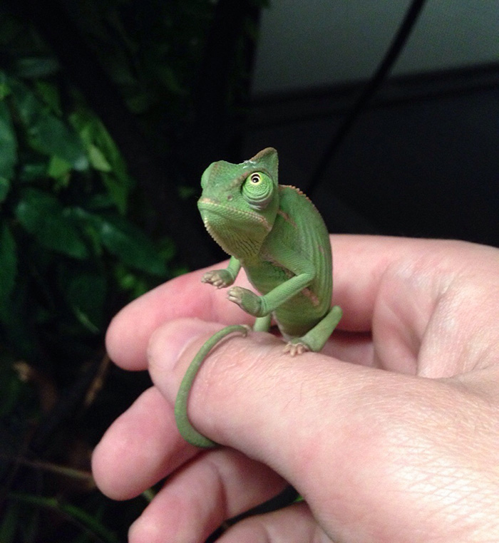 My Baby Chameleon Likes To Meditate Before Eating Some Crickets