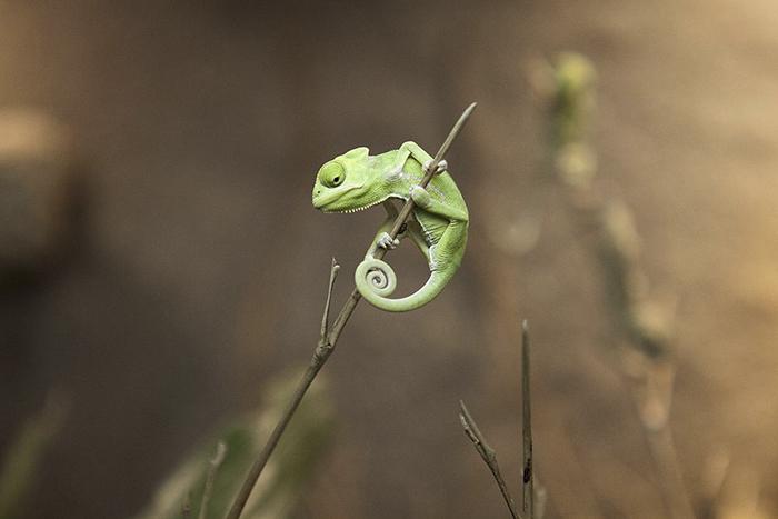 Little Charlie The Chameleon