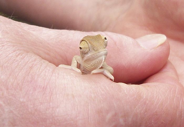 A Baby Veiled Chameleon