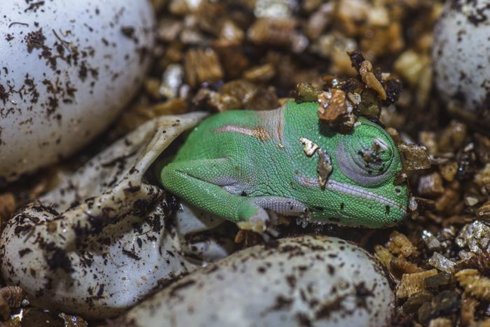 A Baby Yemen Chameleon Was Born. Isn't It Cute?!