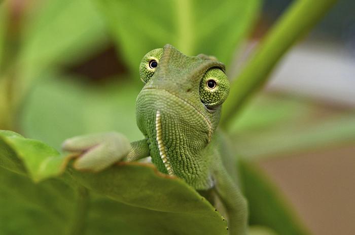 Baby Yemen Chameleon On Leaf