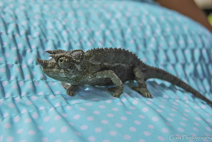 A Friend's Baby Jackson Chameleon Whose Name Is Jack Sparrow