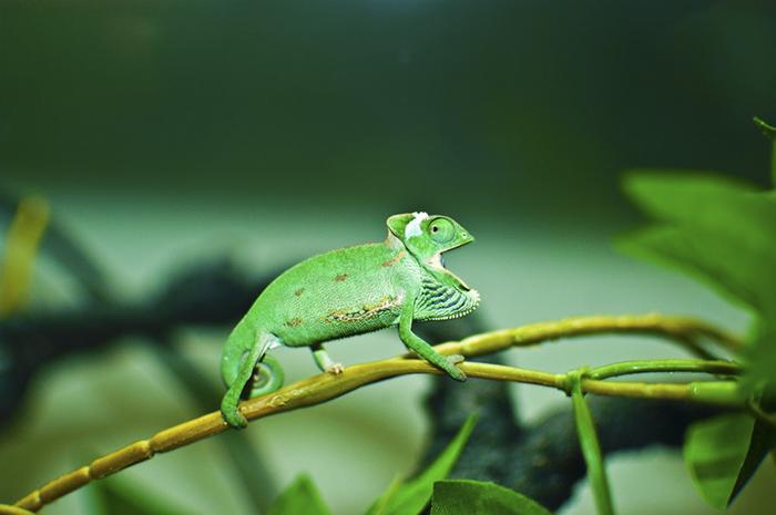 Baby Chameleon I Got To My Girlfriend As A Birthday Present