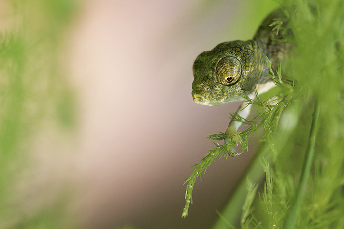 Sweet, Peaceful Little One Day Old Chameleon. This Little Face Is No Bigger Than The Size Of A Pea