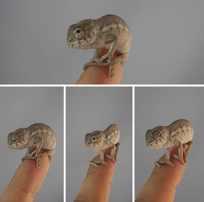 One Month Old Nosy Panther Chameleon, Aka The Cutest Thing On The Planet