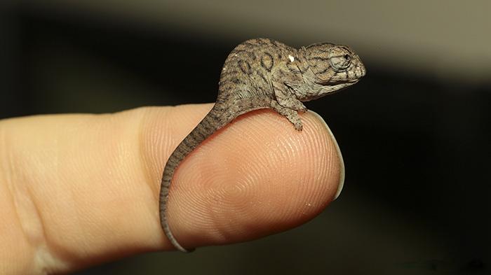 Cute Chameleon Baby