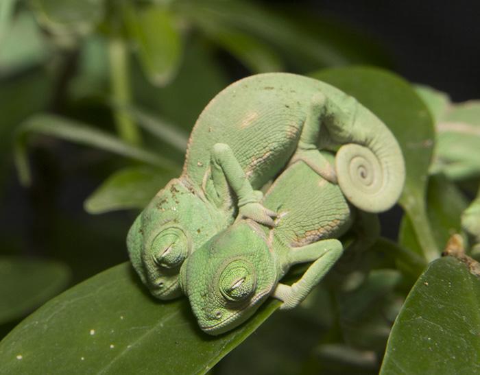 Cuteness Alert! Baby Veiled Chameleons