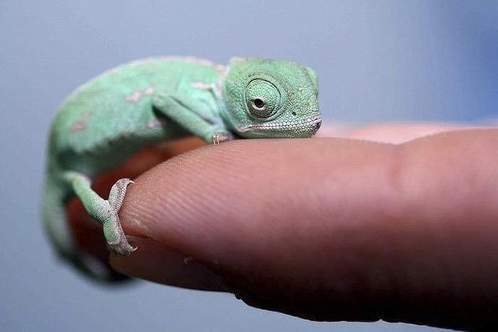 Lovely Baby Chameleon