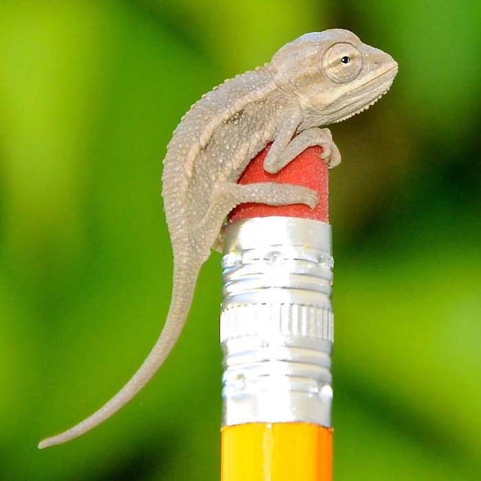 Baby Desert Side Striped Chameleon That Was Just Born!
