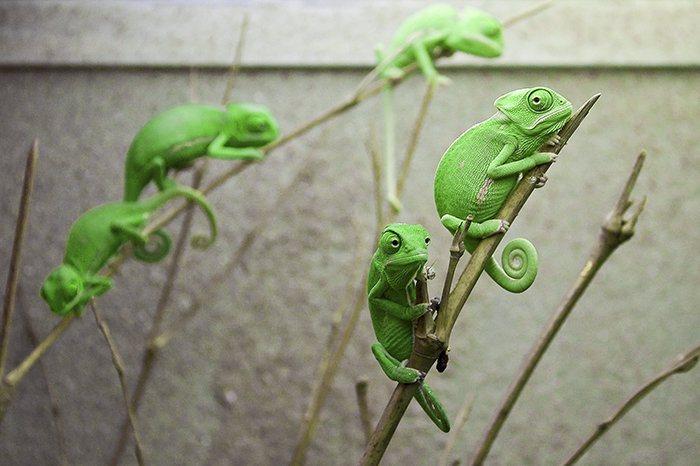 Veiled Chameleon Youngsters