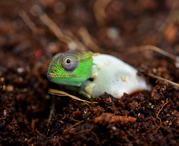 Cute Chameleon Hatching From Its Egg