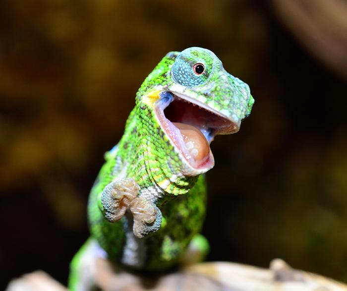 Happy Baby Chameleon