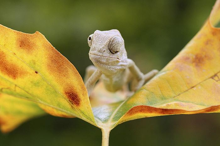 Tiny Baby Chameleon