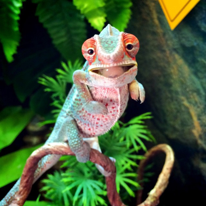 Just Look At This Happy Baby Chameleon!