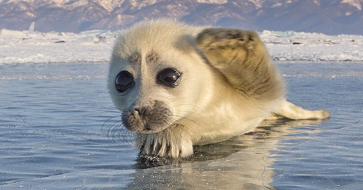 Image result for images of baby seals