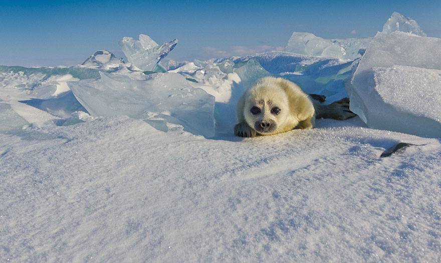 cute-baby-seal-waves-photographer-alexy-trofimov-russia-08a
