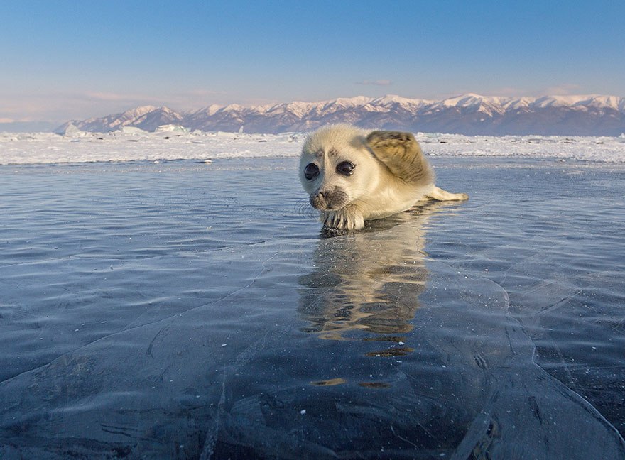 cute-baby-seal-waves-photographer-alexy-trofimov-russia-09