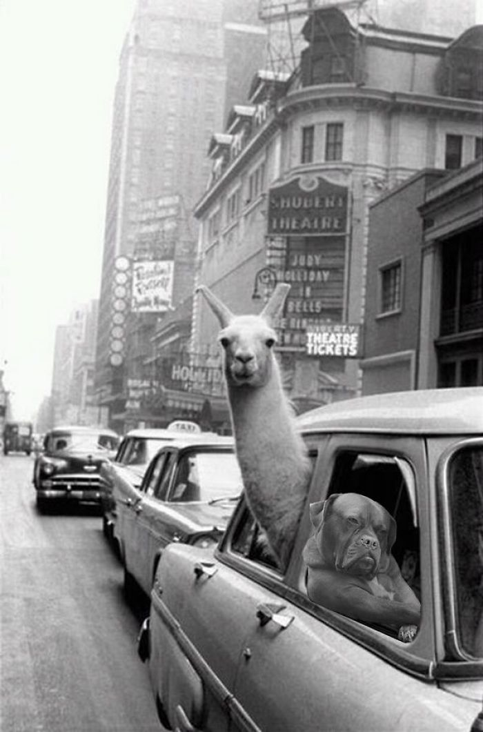 Just Play It Cool Llama