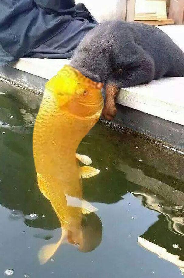 Koi Fish Eating Cat