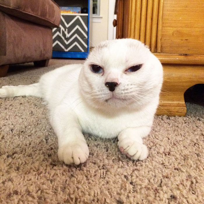 earless-cat-otitis-emotional-support-3