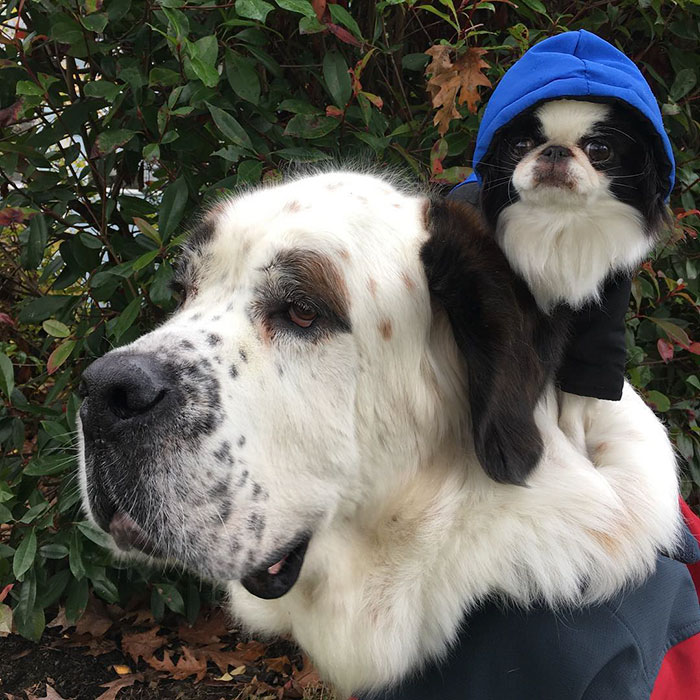 giant-saint-bernard-carries-tiny-dog-blizzard-lulu-david-mazzarella-11