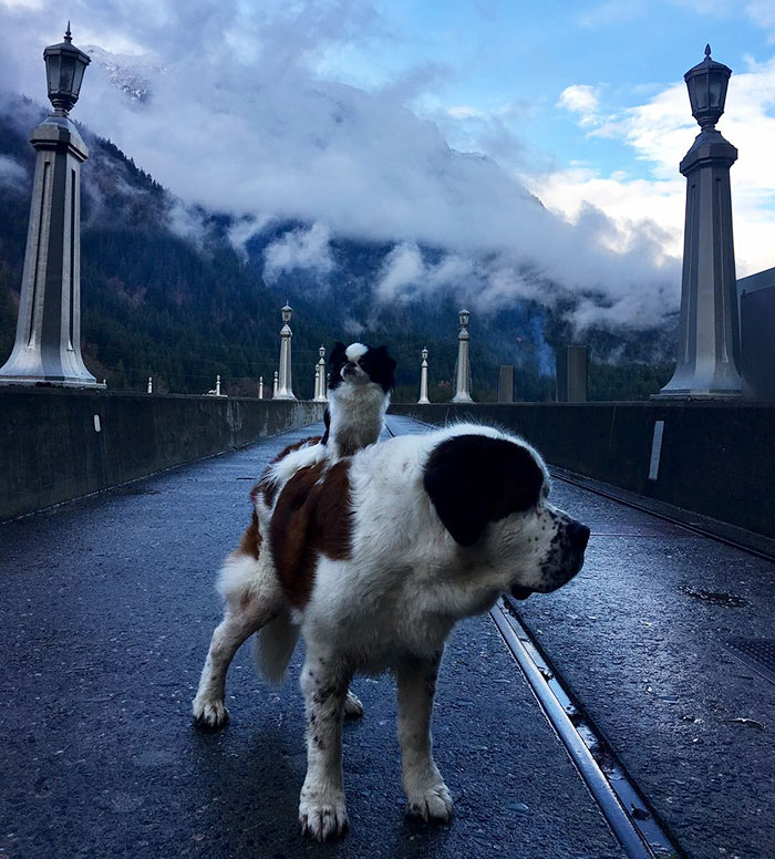 giant-saint-bernard-carries-tiny-dog-blizzard-lulu-david-mazzarella-4