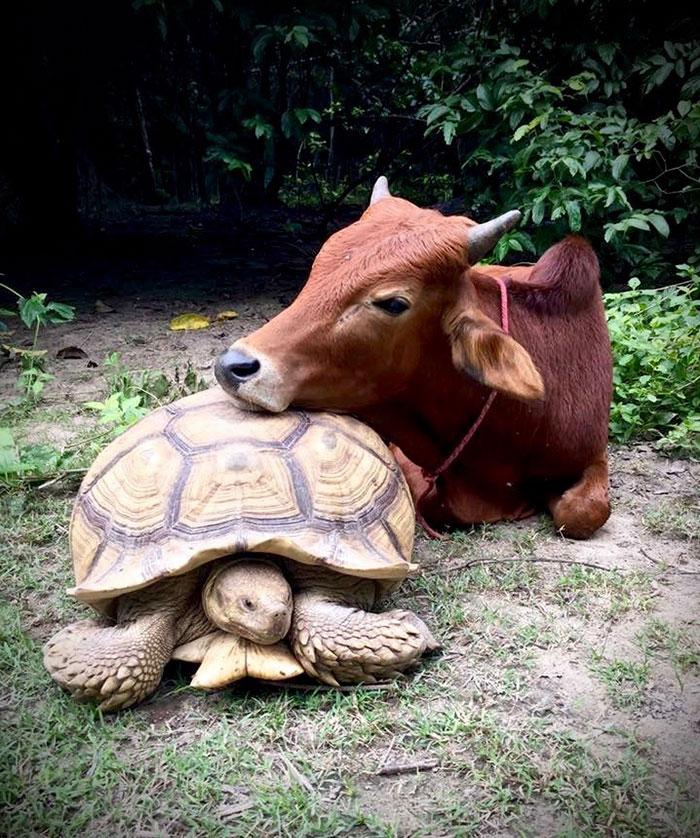 giant-tortoise-baby-cow-friendship-11